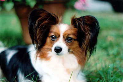 Q the Papillon Mount Pleasant Mi kennel club