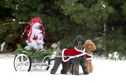 Cruise and Ruby carting at Christmas Mount Pleasant Mi kennel club